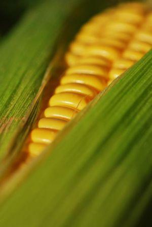 Кукурузные рыльца для похудения, отзывы